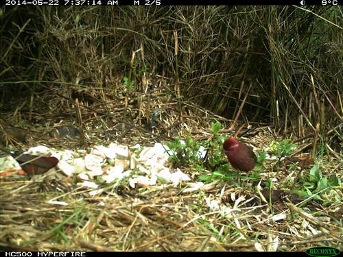 受廚餘吸引覓食的台灣朱雀。(圖片來源:屏科大野保所鳥類研究室提供)