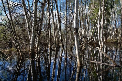 reflection alaska spring birch fairbanks creamersfield taiga borealforest