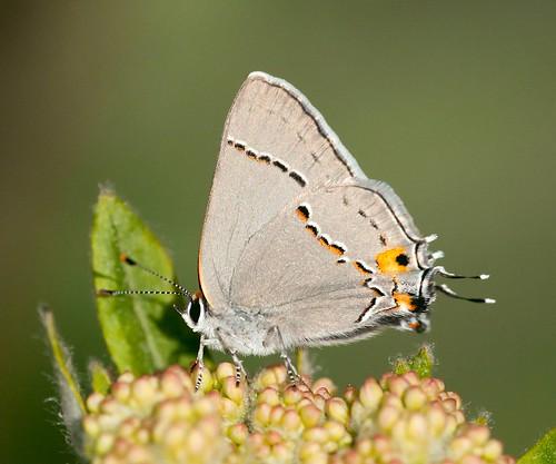 grayhairstreak strymonmelinus robsantry siskiyous