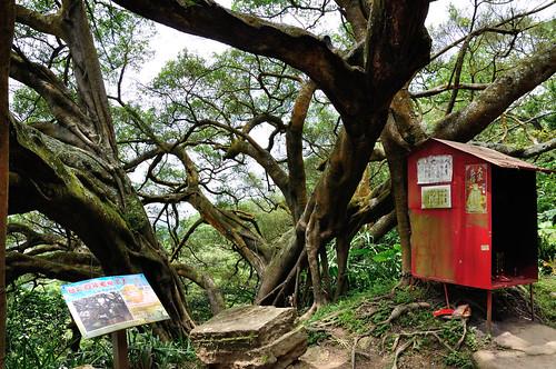 鶯歌千年大榕樹