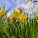 Daffodils and raindrops