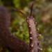 Velvet worm (Epiperipatus sp) by Arthur Anker