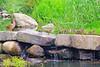 Mallard Duck and 9 Ducklings 15-0526-3775 by digitalmarbles
