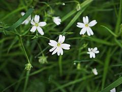 flower, grass, plant, herb, wildflower, flora, stitchwort,