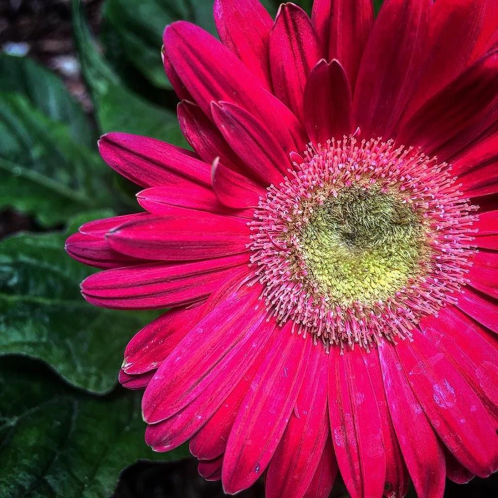 Gerbera Daisy #gerbera #flowers #daisy #nature #plants #garden ...