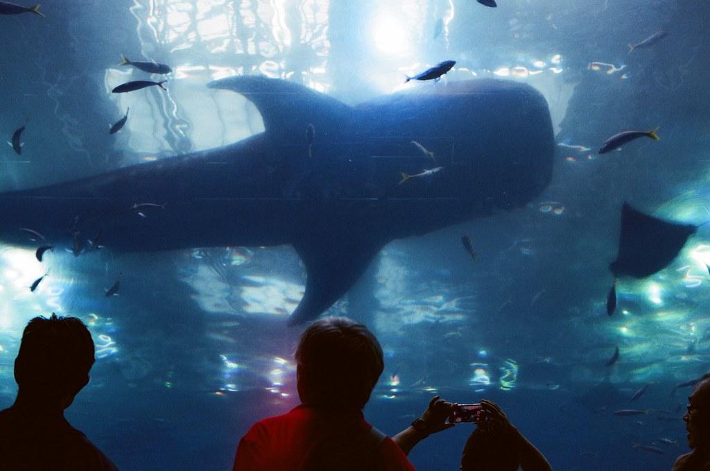 海洋博 沖繩 Okinawa, Japan / AGFA VISTAPlus / Nikon FM2 第二次來沖繩的海洋博,在同一個地方等大鯨魚經過,那時候坐在地上等,看著大水缸裡的魚游來游去,陽光隨意的擺動,在我的眼睛裡閃爍。  那時候我的確很難過,一直思考著到底在哪個環節上出錯了,想說如果在哪個節點上做出相反的決定時,會不會今天就不會是這樣的結果。  想著想著也搞不清楚了,想著想著大鯨魚終於游過來了。  也就沒想那麼多了,已經等待很久的構圖,那就按下快門吧!  Nikon FM2 Nikon AI AF Nikkor 35mm F/2D AGFA VISTAPlus ISO400 2193-0015 2015-10-26 ~ 2015-10-27 Photo by Toomore