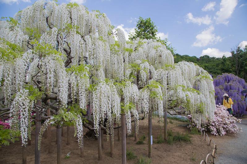 ashikaga_flowerpark-18