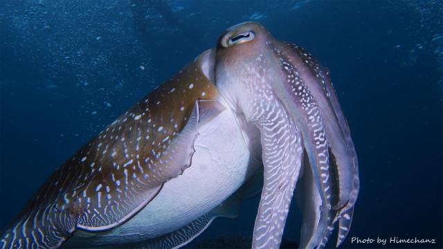 それを見守るコブシメのオス