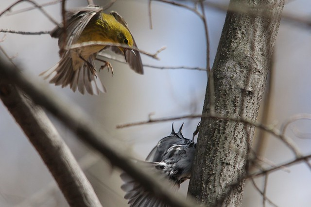 Pine and Black-and-white Warbler - Discussion