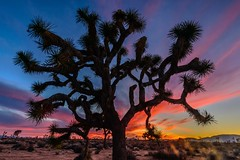 Joshua Trees National Park CA