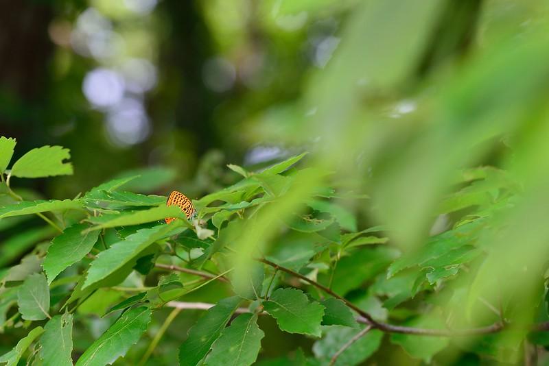 かくれんぼ(Japonica saepestriata)