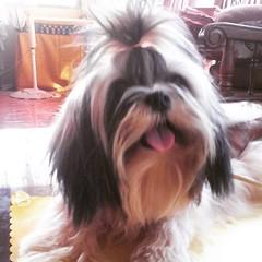 Tuesdays=treats □□□ #TOT #toungesouttuesday #cute #puppy #WhopperShihTzu #shihtzuofinstagramuse #shihtzu #shihtzusofinstagram #ShihTzuPhilippines