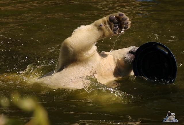 Eisbär Fiete im Zoo Rostock 07.05.2016  083