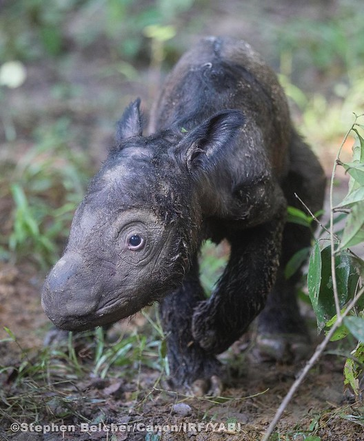 Female Sumatran rhino calf, born May 12, 2016.