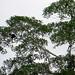 Tambopata River (Rio) boat ride - howler monkeys - 1