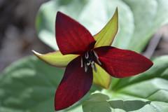 Large Red Trillium