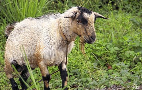 Wet Goat