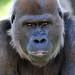 San Diego Zoo Safari Park: Gorilla