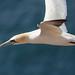 Gannet's Flight
