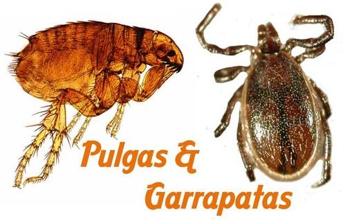 Remedios caseros que eliminan pulgas y garrapatas cuidadosdetusalud - Como eliminar las pulgas de casa remedio casero ...