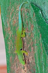 Gekkonidae