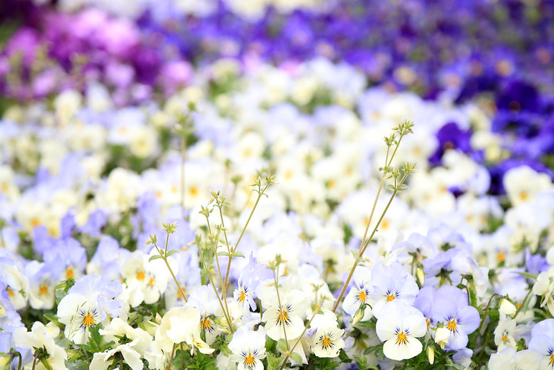 pensées bleu violette