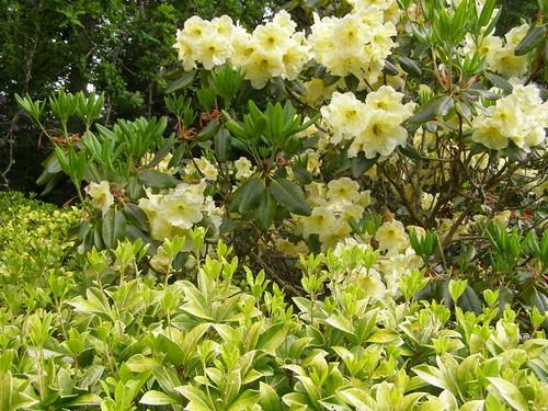 Rhododendrons © Nigel Philpott