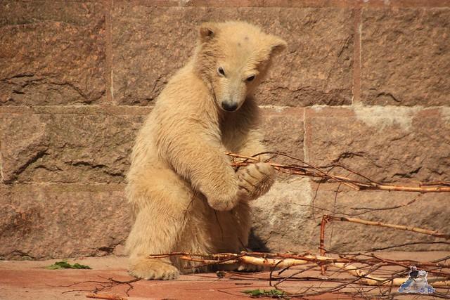 Eisbär Fiete im Zoo Rostock 04.05.2015 299