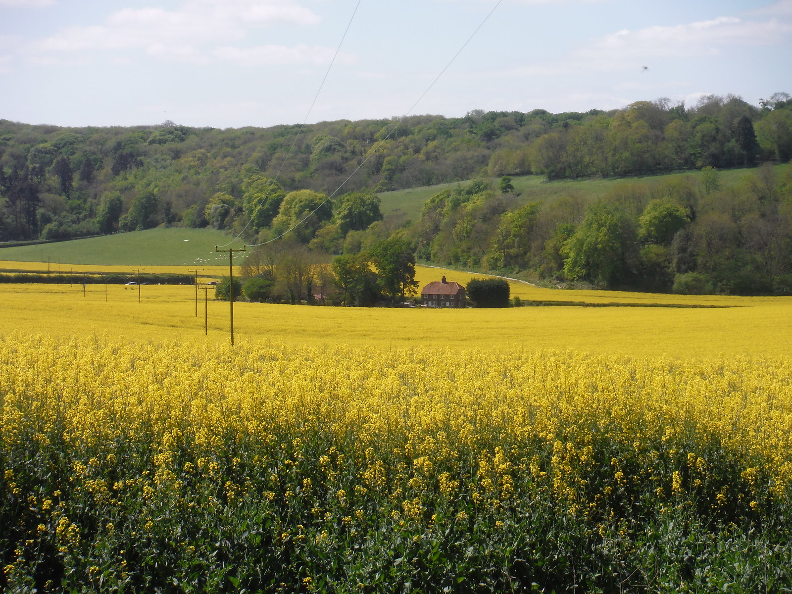 Farm House in Rape Oilseed Field, from Locksash Lane SWC Walk Rowlands Castle Circular