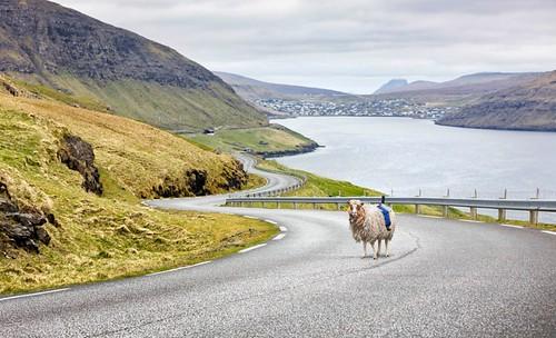 نصب پیشرفته ترین تکنولوژی های گوگل به روی گوسفندان!