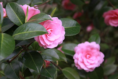 camellia, garden roses, camellia sasanqua, rosa 㗠centifolia, flower, plant, camellia japonica, theaceae, pink, petal,