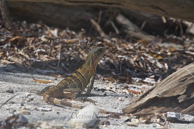 iguana 0002 Key Biscayne, Miami, Florida, USA