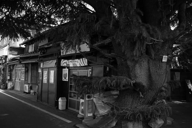 巨木 - Big tree