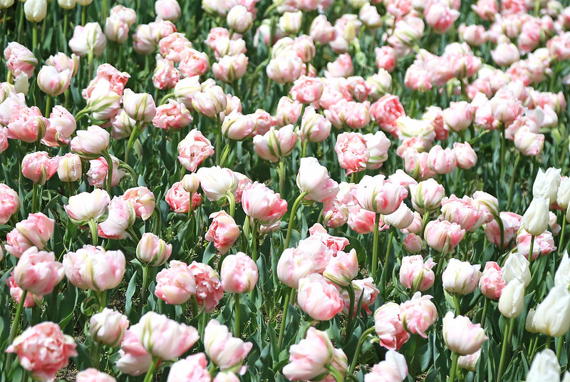 jardin de tulipes rose