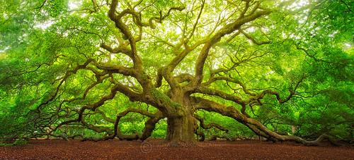 tree angel big oak southcarolina charleston