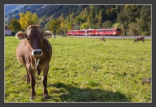 Rail and Cow, Zillertal, 21.Okt 2011