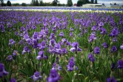 iris, flower, field, purple, plant, lavender, wildflower, meadow,