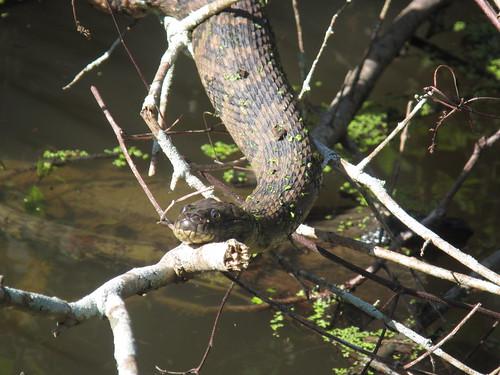 Well-fed snake.