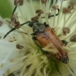 barnás virágcincér - Pseudovadonia livida