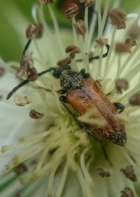 Pseudovadonia livida - barnás virágcincér