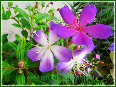 Tibouchina mutabilis (Manaca, Brazilian Sendudok) large and colourful flowers, Aug 29 2013