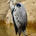 Fischreiher (Ardea cinerea) by Rolf Piepenbring