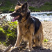 German Shepherd at Reddish Vale Country Park