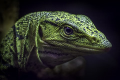 Gray\'s Monitor Closeup