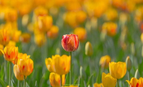flowers red green yellow canon spring colours tulips bokeh ottawa ottawatulipfestival 70200l28is aloneinacrowd 5dmkiii spring2015