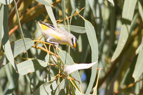 Striated Pardalote, but what race.