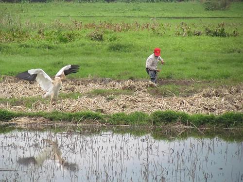 金山清水濕地小白鶴與農友。圖片來源:生態工法發展基金會。