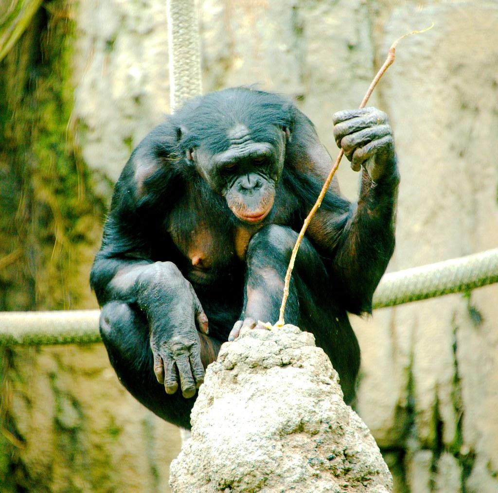 Bonobo (Pan paniscus)_1