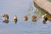 Mallard Ducklings 15-0526-3428 by digitalmarbles
