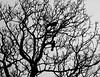 Crows Grey